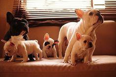 My pups family. I <3 french bulldogs.