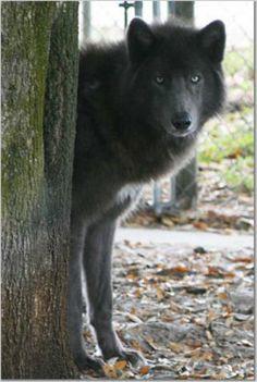Lycan Shepherd Puppies : lycan, shepherd, puppies, Shepherds, Ideas, Shepherd,, German, Shepherd
