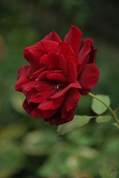 ~Hybrid Tea Rose: Rosa 'Le Rouge et Le Noir' (France, 1973)