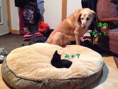 猫にベッドを奪われる犬たち00