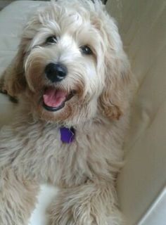 My labradoodle, Clover at six months old.