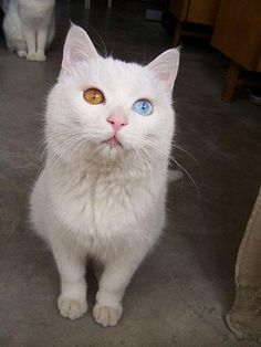 Image Result For People With Two Different Colored Eyes - This is pam pam the kitten with heterochromia with hypnotic eyes you just cant stop looking at