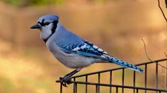2013-04: Blue Jay, one of my favorite pictures!
