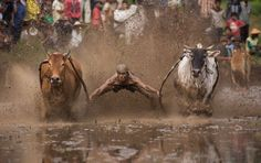 Pacu Jawi, corrida de vacas na Indonésia.
