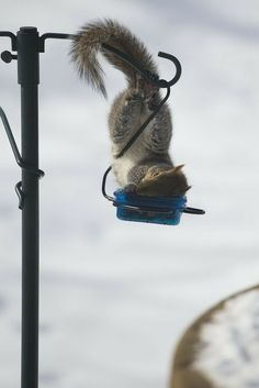 8 Sleepy Squirrels Trying To Get Comfortable In Weird Places Hamsters, Rodents, Flying Squirrel, Cute Squirrel, Squirrels, Funny Animals, Cute Animals, Baby Animals, Squirrel Pictures