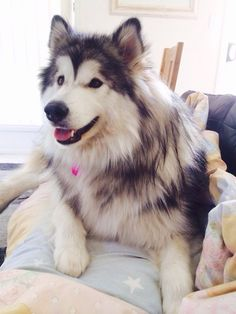 Oh....malamute! someday I may have another because I miss my Sasha......