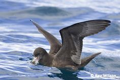 Flesh-footed Shearwater (Ardenna carneipes),  with a world population estimated at several hundred thousand birds, is a common petrel in the waters surrounding North Island, New Zealand.