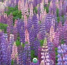Perennial Lupine.  Another flower that loves my high mountain valley garden. :-)