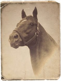 Vintage photo of Man o'War (Fair Trial - Marubah), the sire of War Admiral and grandsire of Seabiscuit.