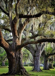 Southern Oak trees, absolutely stunning!
