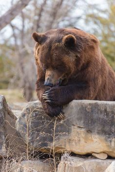 Praying Grizzly Bear hunt ends in BC. Cute Baby Animals, Animals And Pets, Funny Animals, Wild Animals, Baby Pandas, Bear Pictures, Animal Pictures, Ours Grizzly, Grizzly Bears