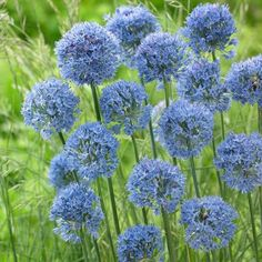 True Blue Allium flowers are the gardener's holy grail, and this Siberian native provides them in abundance. Allium azureum is easily grown and decorates the garden with plenty of 1 round flax-blue flowers. Allium Flowers, Bulb Flowers, Onion Flower, American Meadows, Indoor Flowering Plants, Organic Gardening Tips, Vegetable Gardening, Gardening Zones, Indoor Gardening