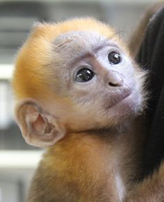 Belfast Zoo has welcomed a 'little star' to their family. On August 23, 2014, Chi, the Francois' Langur, gave birth to a small but healthy infant. The diminutive male was recently given the name 'Xiao Xing' which means 'little star' in Chinese.