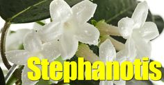 Summary: Stephanotis, long time favorite, fragrant, bridal flower, has grown in popularity as a spring-time patio plant grown on a trellis and hanging basket, but little care information has been available - read more. The Stephanotis has grown in popularity over the past few years... #spr #sum
