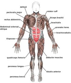 Anterior Muscles labeled