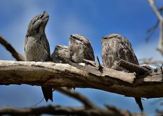 Tawny Frogmouth, Podargus strigoides, on the wing