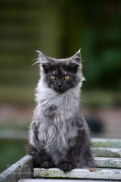 Beautiful black smoke maine coon kitten http://www.mainecoonguide.com/where-to-find-maine-coon-kittens-for-sale/