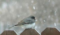 Dark-eyed Juncos are neat, even flashy little sparrows that flit about forest floors of the western mountains and Canada, then flood the rest of North America for winter. They're easy to recognize by their crisp (though extremely variable) markings and the bright white tail feathers they habitually flash in flight. One of the most abundant forest birds of North America, you'll see juncos on woodland walks as well as in flocks at your feeders or on the ground beneath them.