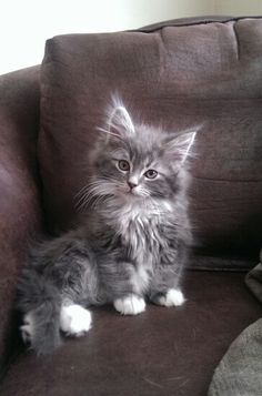 Chaton Maine coon.