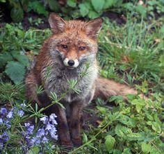 "a-lion-in-winter: "" Urban Fox by Mini Mel on Flickr. """