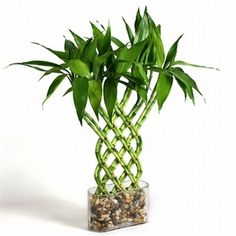 So why is Lucky Bamboo considered lucky ? Lucky Bamboo is one of the most popular feng shui cures. You can see feng shui lucky bamboo in most floral shops nowadays. These cute little arrangements in their exotic conta… Feng Shui Lucky Bamboo, Lucky Bamboo Plants, Buy Bamboo, Small Artificial Plants, Artificial Flowers, Fake Plants, Plant Wall, Plant Decor, Bamboo Seeds