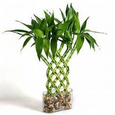 lucky bamboo trellis