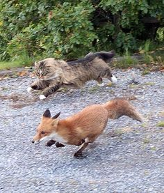 Maine Coon chasing a fox!