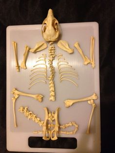Bones skeleton possum