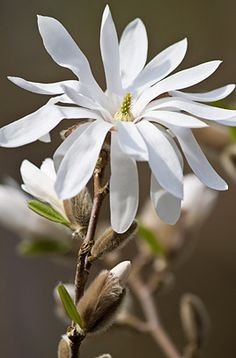 Magnolia Stellata (Common Name: Water Lily) | Royal Horticultural Society, London