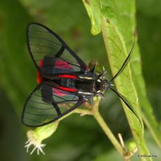 https://flic.kr/p/22mjoFC   Scarlet-tipped Wasp Mimic Moth, Dinia aeagrus   from Ecuador: www.flickr.com/andreaskay/albums