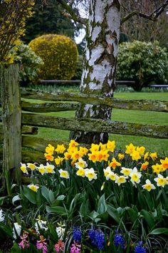 Daffodils .
