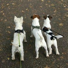 3 friends Lucky, Gijs and Pim. #Gijsmans #GijsenPim #westie #jrt #jackrussell