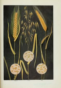 Graphic-Educational-plate-Botanical-Grains-types-rye.jpeg (539×769)