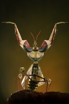 Idolomantis diabolica, commonly known as the Devil's Flower Mantis or Giant Devil's Flower Mantis, is one of the largest species of praying mantis, if not the largest that mimic flowers. It is the only species classified under the genus Idolomantis.