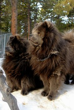 "Tara, Revolution, and Weather. Rare blue chow chows.     Chow Chow is a type of dog breed originally from China, where it is referred to as Songshi Quan (Pinyin: sōngshī quǎn 鬆獅犬), which means ""puffy-lion dog""."