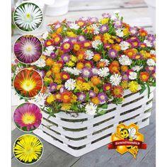 Winterharte Eisblumen 'Wheels of Wonder®' Farbmix, 5 Pflanzen - BALDUR-Garten GmbH
