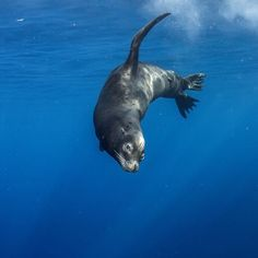 A sea lion swims in the deep blue water of Guadeloupe Island. Sea lions are well known for their playfulness and energy
