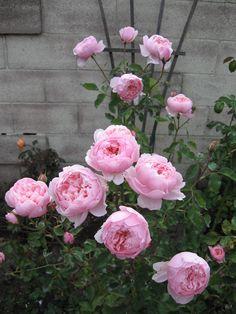 Austin English rose, 'Alnwick Rose'  in my coastal SoCal garden, evening 2012