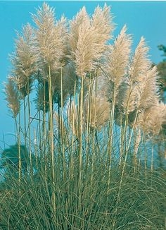 """Elymus magellanicus-Blue Clumping Wheat Grass Plant in 3.5/"""" pot"""