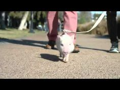 Chase Bank Commercial Walking Baby Pig - YouTube oh my gosh this was the highlight of my day
