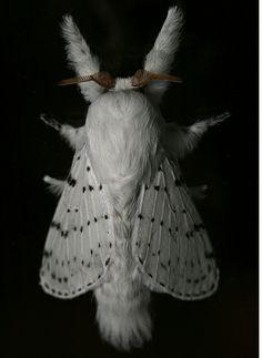 whitemoth inspiration