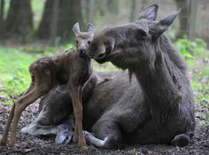 Moose cow with her calf, this is so sweet