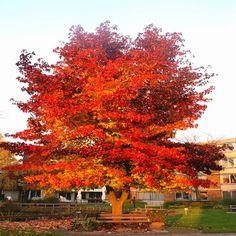 Liquidambar styraciflua ( Altingiaceae/Hamamelidaceae ) Liquidambar ou Copalme d'Amérique est célèbre pour son feuillage magnifique qui passe du vert au rouge entre les saisons du printemps et l'automne. Le Liqiudambar à une croissance lente d'environ 6 mètres. Il aime les emplacements spacieux et solitaires. Facile à faire pousser Livré(e) comme Plante(s) en pot Dimension du pot 9 cm Hauteur livraison pot inclus 25 cm Taille totale à maturité 6 - 8 m Largeur de pousse 5 - 6 m
