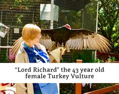 How old is too old for a Turkey Vulture? Meet Lord Rochard, the 43 year old female Turkey Vulture Female Turkey, Vulture, Year Old, Old Things, Wildlife, Lord, Meet, Animals, One Year Old