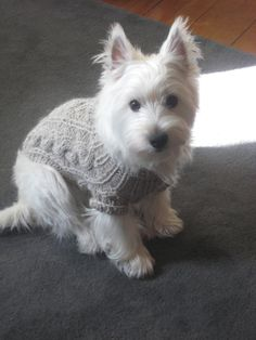 Powder the West Highland Terrier Pictures 590577
