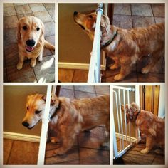 our golden retriever puppy got her head stuck in our baby gate. haha what a goofball. so funny