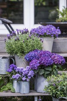 lawenda francuska, nad nią po prawej - dzwonki, poniżej hortensja ogrodowa, obok w metalowej puszcze - aster i hebe