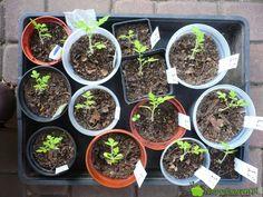 Pomidory posiane pojedynczo dodoniczek niepotrzebują pikowania. Fot.Niepodlewam Plants, Oreo, Lawn And Garden, Balcony, Plant, Planets