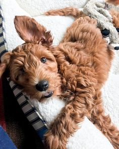 Look at this adorable ISABELLA (@isabellastylenc) • Instagram photos and videos Red Goldendoodle, Cute Dogs And Puppies, Cute Friends, Puppy Love, Cute Pictures, Cute Animals, Girly, Photo And Video, Jessie