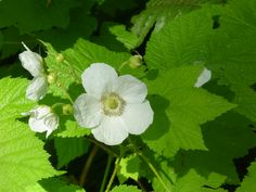 Rubus parviflorus, Thimbleberry shrub.  Grows great in the Rocky Mtn. area.  Photo from Hansen's N. W. Native Plant Base.
